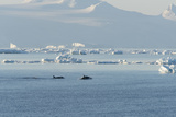 Killer Whales Swimming in Antarctic Sound and the Weddell Sea Near Antarctica Impressão fotográfica por Jeff Mauritzen