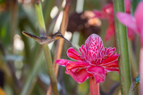 A Saw-Billed Hermit Bird Feeds from a Red Ginger Plant Flower in the Atlantic Rainforest Photographic Print by Alex Saberi