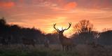 A Red Deer Stag, Cervus Elaphus, Standing in London's Richmond Park Fotografisk tryk af Alex Saberi