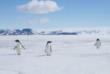A Group of Adelie Penguins Walk Along the Sea Ice Off the Antarctic Peninsula Impressão fotográfica por Jeff Mauritzen