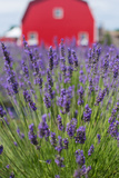Lavender Fields with a Red Barn in the Background Fotografisk tryk af Erika Skogg