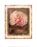 Cabbage Roses Prints by Linda Maron