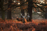 Three Red Deer, Cervus Elaphus, Standing in London's Richmond Park Stretched Canvas Print by Alex Saberi
