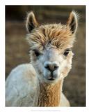 Alpaca Portrait V Posters por Tyler Stockton