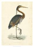 Vintage Purple Heron Giclee Print by  Morris