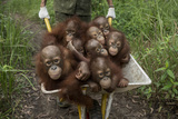 A Keeper Transports a Group of Juvenile Orangutans by Wheelbarrow Fotografisk tryk af Tim Tim