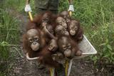 A Keeper Transports a Group of Juvenile Orangutans by Wheelbarrow Fotografie-Druck von Tim Laman