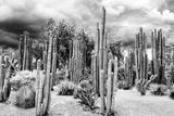 ¡Viva Mexico! B&W Collection - Cardon Cactus Fotografisk tryk af Philippe Hugonnard